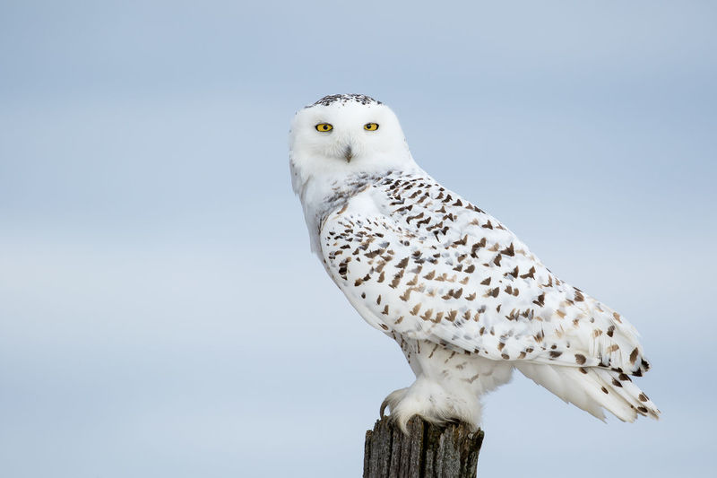 Snowy Owl, Bubo Scandiacus, perched on a post making eye contact with piercing yellow eyes. Animal Themes Animal Wildlife Animals In The Wild Beauty In Nature Bird Bird Of Prey Bubo Scandiacus Close-up Day Nature No People One Animal Outdoors Owl Perching Sky Snowy Owl