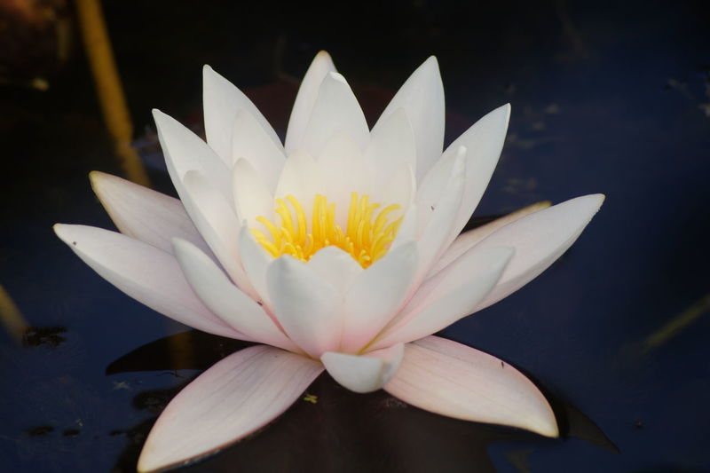 Beauty In Nature Floating On Water Freshness Lotus Water Lily Nature Single Flower Water White Color