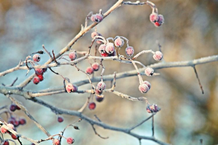 Beautiful Nature Beauty In Nature Beauty In Nature Berry Branch Close-up Cold Cold Temperature Fieldscape Focus On Foreground Frosty Frosty Mornings Frozen Frozen Nature Fruit Nature Nature On Your Doorstep Nature Photography Nature_collection Naturelovers Red Winter Winter_collection Winterscapes Wintertime
