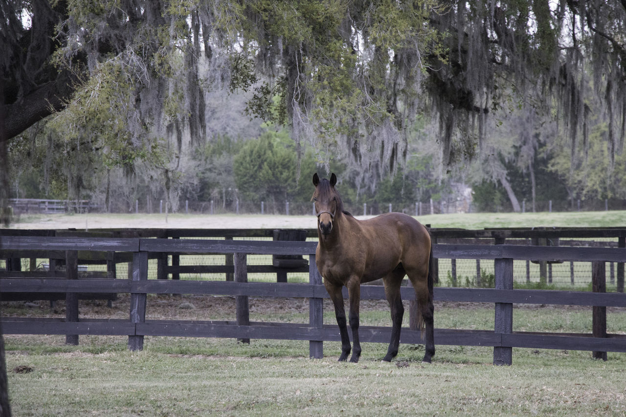 horse, tree, animal themes, domestic animals, one animal, field, day, nature, paddock, mammal, outdoors, standing, no people