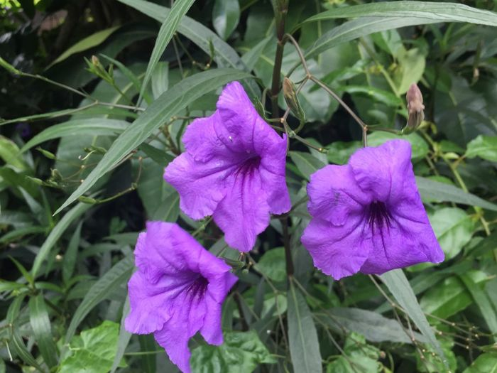 Beauty In Nature Blooming Day Flower Flower Head Fragility Freshness Growth Nature No People Outdoors Petal Petunia Plant Purple