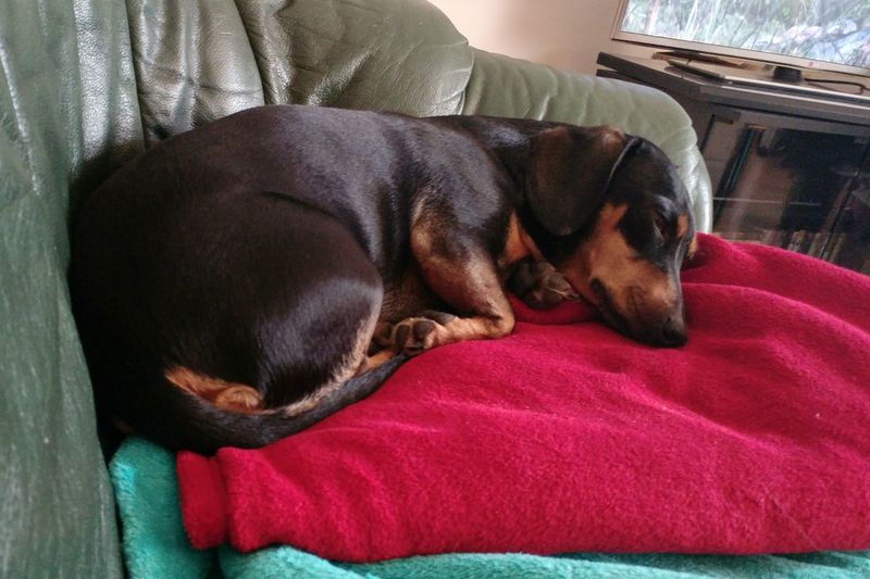 Dog Lifestyles Pets Domestic Animals Sleeping Dog Sleeping Duchshund