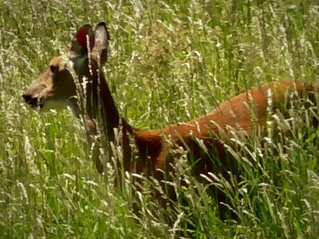 The deer like to stroll through the tall grass that runs along the property line in the backyard. EyeEm Nature Lover Deer Watching Deer Hiding Out In My Backyard Tall Grass Wildlife & Nature Beautiful Eyeem Nature Nature On Your Doorstep