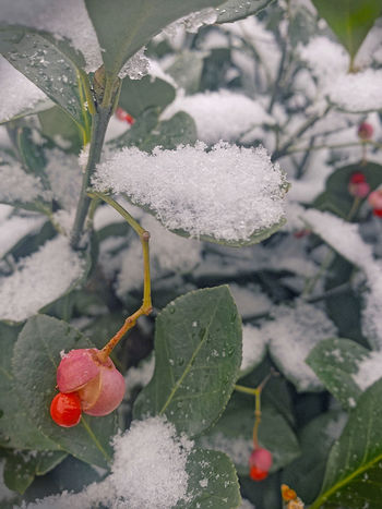 Plant Leaf Beauty In Nature Cold Temperature Snow Close-up Red Ice No People Frozen Grey Green Leaves