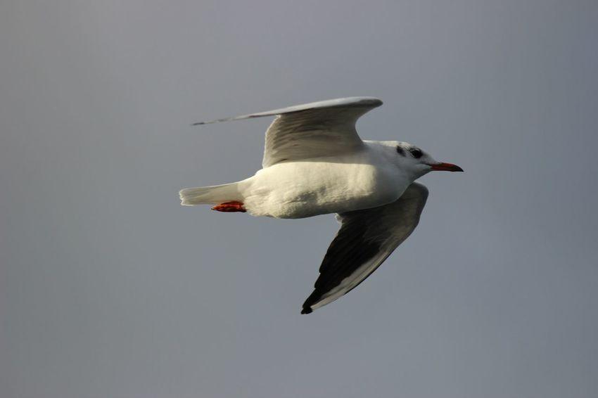 Sky Seagull Wings White Canon Freedom Peace