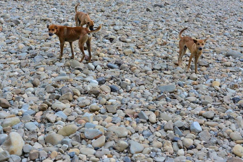 3 Dogs Borneo Dogs Hunting Dogs Clear Water Freshwater Pebbles Rainforest River Streamzoofamily