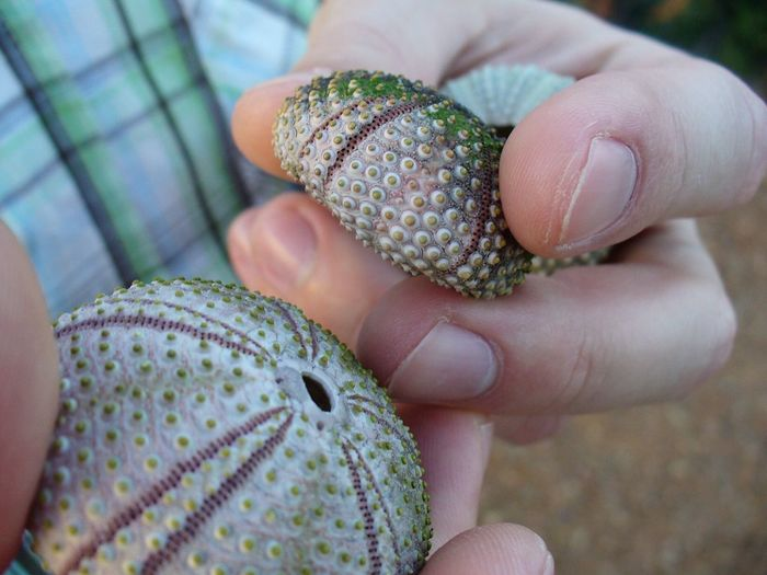 Woman holding sea urchins