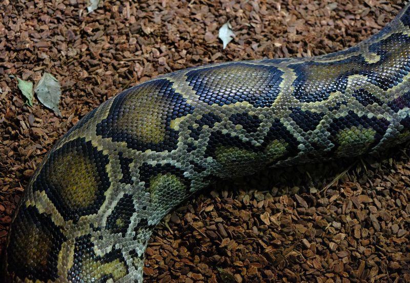 Reptile Snake Animal Animal Protection Animal Scale Animal Skin Animal Themes Aquarium Big Snake One Animal Python Pythons Reptile Reptile Photography Skin Snake Snake Skin