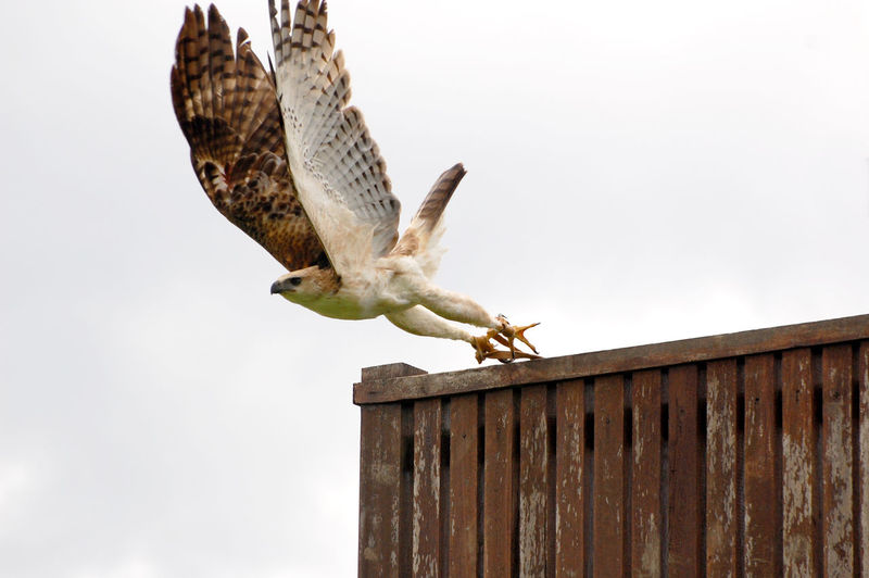 Low angle view of hawk against sky