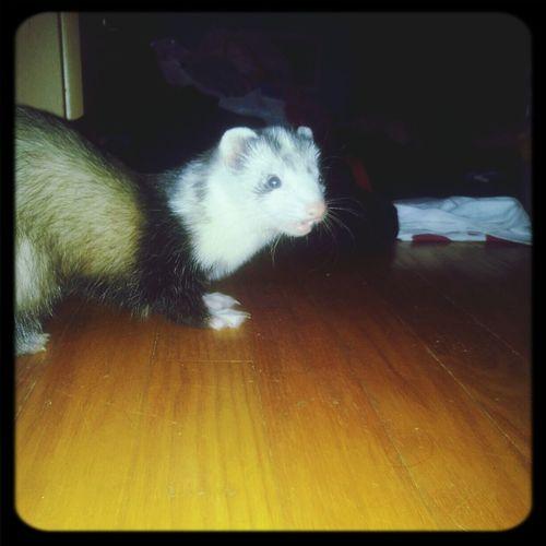 Lola <3 First Eyeem Photo My Ferret Cute Pet