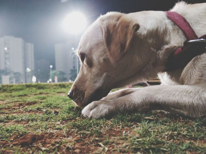 when you don't know what to do Labrador Friends Family EyeEm Selects Pets Dog Lying Down English Bulldog Beagle Grass Close-up Canine Purebred Dog Carnivora Retriever Puppy Sleeping