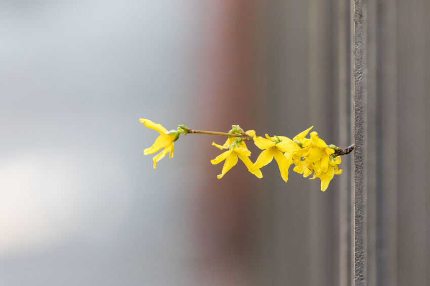 Beauty In Nature Break Through Close-up Copy Space Day Easter Fence Focus On Foreground Forsythia Fragility Nature Nature No People Outdoors Plant Spring Springtime Yellow