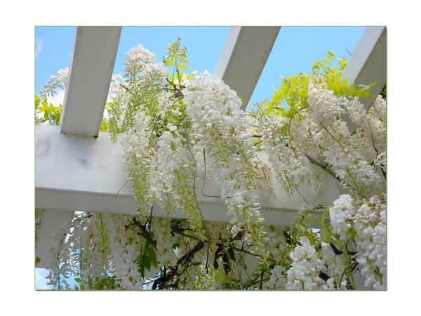 Flowers In The Garden 7 Wisteria Sinensis Fabaceae Leguminosae Climbing Shrub BINE Early Spring Meek Mansion Cherryland, Ca. Flower_Collection Flowers Flowers In Bloom White Blossoms  Pergola Garden PhotographyGarden_lovers Garden_collection Garden Nature Beauty In Nature Nature_collection Landscape_Collection Landscape_photography