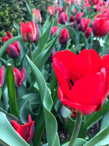 Red Plant Flower Growth Petal No People Leaf Day Blooming Nature Freshness Beauty In Nature Green Color Outdoors Tulip Fragility Close-up Flower Head