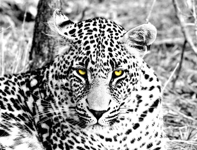 The eyes have it Eyeshaveit Leopard Safari Animals Sabi Sands South Africa Colorpop Animals In The Wild Looking At Camera Nationalgeographic Getty Images