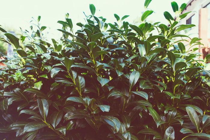 Kirschlorbeer Kirschlorbeer Agriculture Beauty In Nature Cherry Laurel Close-up Day Freshness Garden Growth Leaf Nature No People Outdoors Plant Sky