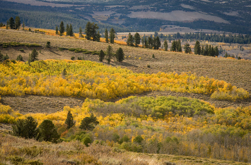Autumn colors, Eastern Sierra Environment Landscape Land Scenics - Nature Tree Beauty In Nature Nature Autumn Field Day Tranquil Scene No People Mountain Yellow Outdoors Rural Scene Pine Tree Aspens In Full Change. Groves Horizontal Composition Eastern Sierras, CA