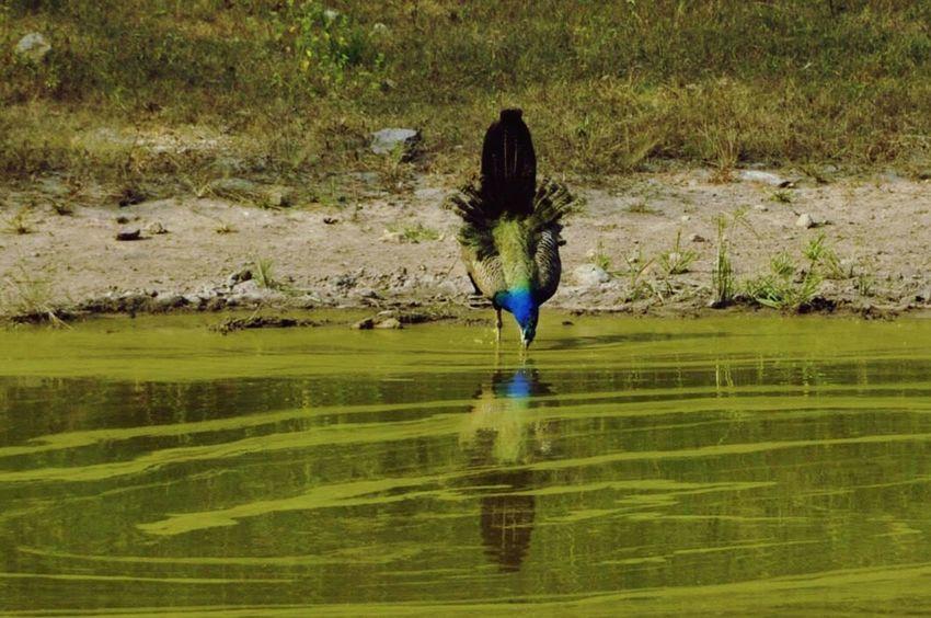 Reflection Outdoors Peacock Bandhavgarh Bandhavgarh National Park Indian India Reflection Bird Travel Destinations