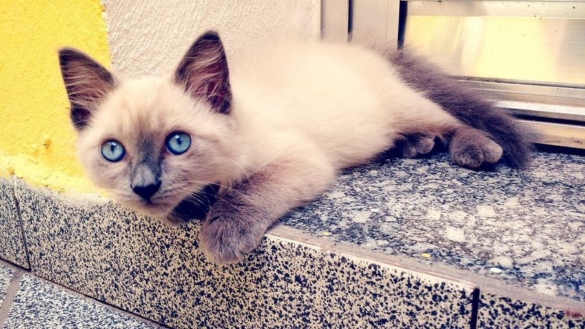 Luna - Cat Filhote Pequeña Little