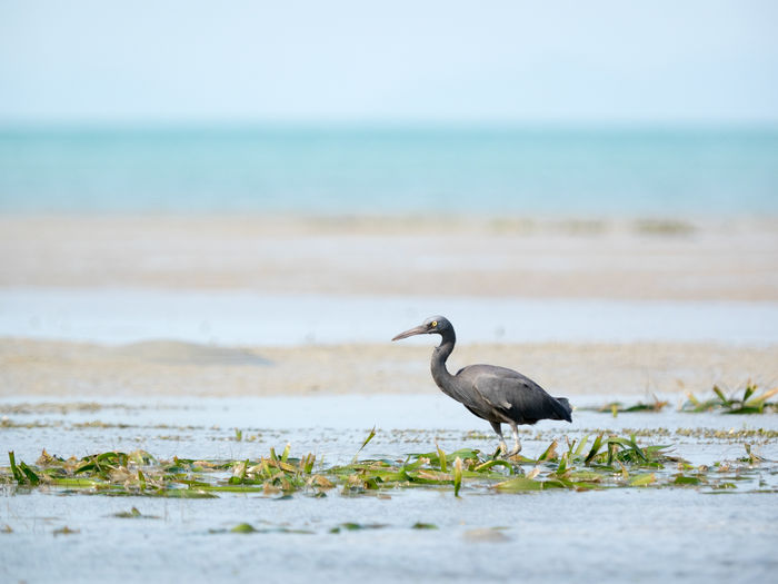 Side View Of Heron In Shore At Beach