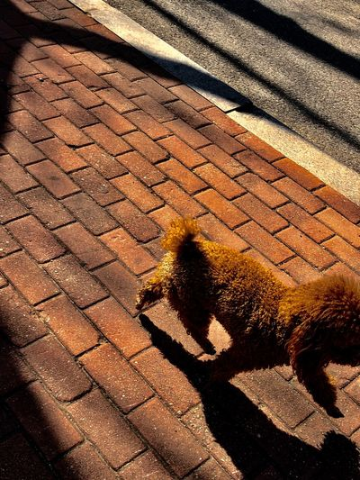 Dog Shadow Sunlight Focus On Shadow Day High Angle View Outdoors One Animal