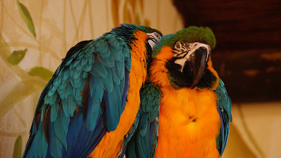 Gold And Blue Macaws At Zoo