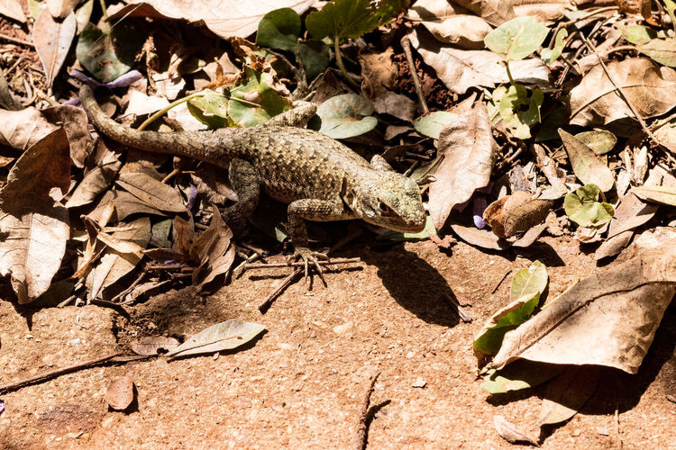 Lizard in Jardim Botânico de Brasília (Botanical Garden) Aggression  Animal Animal Themes Animal Wildlife Animals In The Wild Arid Climate Day Dry Field High Angle View Land Leaf Leaves Lizard Nature No People One Animal Outdoors Reptile Sunlight Vertebrate