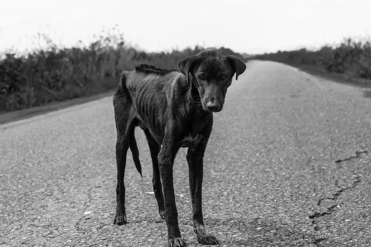 Stay Dog Alone Looking At Camera Lost Road Animal Themes Black And White Black Labrador Day Dog Domestic Animals Gaunt Grass Help Homeless Looking Mammal Nature No People One Animal Outdoors Pets Pitiable Sadness Starve