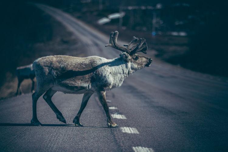 Animal standing on road