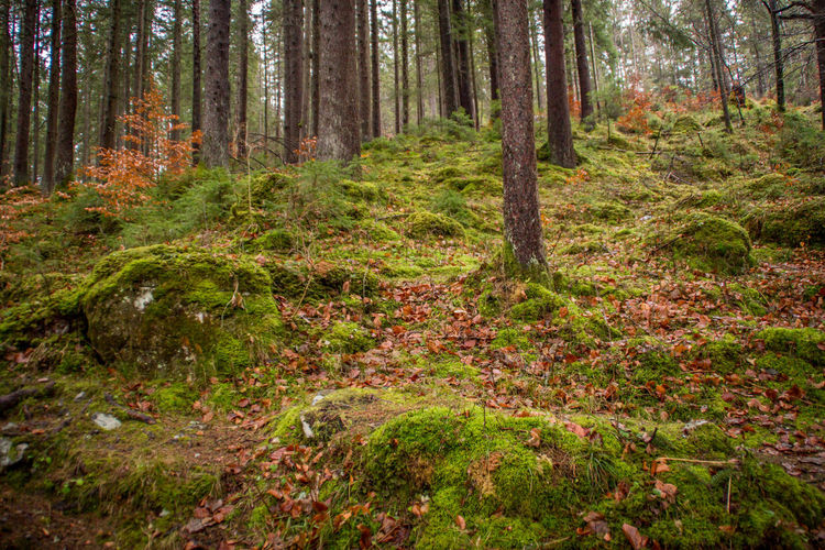 Forest Tree Land Plant WoodLand Nature Trunk Tree Trunk Autumn Scenics - Nature No People Beauty In Nature Tranquility Day Plant Part Landscape Non-urban Scene Environment Growth Leaf Outdoors Pine Woodland Pine Tree