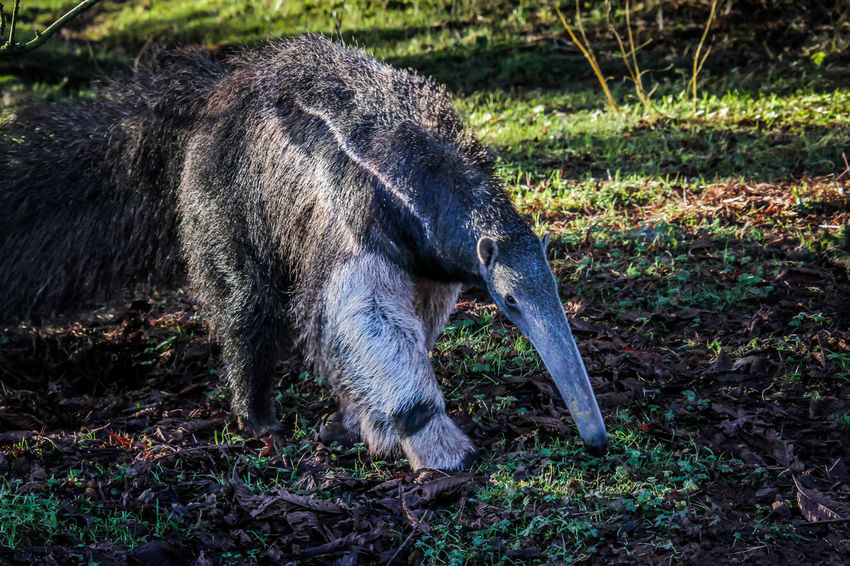 Nature ZOO-PHOTO Zoo Animal Animal Photography Animal Themes Animal Wildlife Anteater Day Mammal Nature No People One Animal Outdoors Zoo Animals  Zoophotography