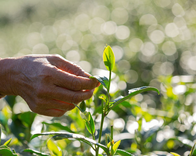 Hands of someone picking tea leaf in the morning time. Finger Outdoors Selective Focus Real People Sunlight Holding Fragility Focus On Foreground Men Vulnerability  Day Beauty In Nature Flowering Plant Close-up Flower Nature Human Body Part One Person Growth Hand Human Hand Plant Vulnerability  Green Color
