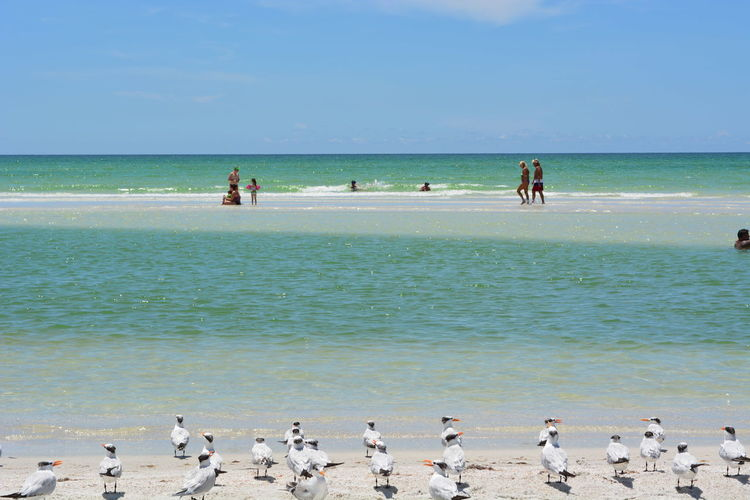 Caspian Terns And People At Beach