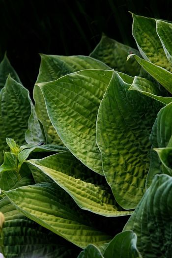 Licht Schatten Grün Garten Blätter Hosta Funkien Schatten Licht Garten Funkien Hosta Leaf Plant Part Green Color Growth Plant Close-up Nature Beauty In Nature No People Day Leaf Vein Freshness Natural Pattern Outdoors Food And Drink Tranquility Food Drop Leaves Full Frame