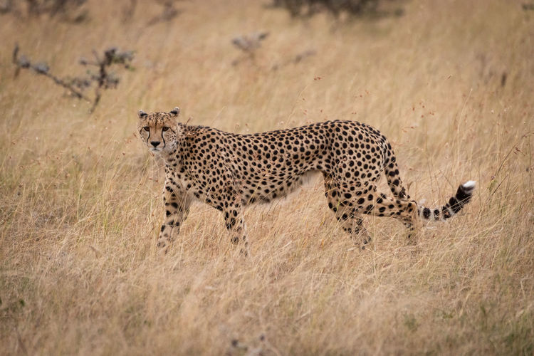 Cheetah walking on dry field