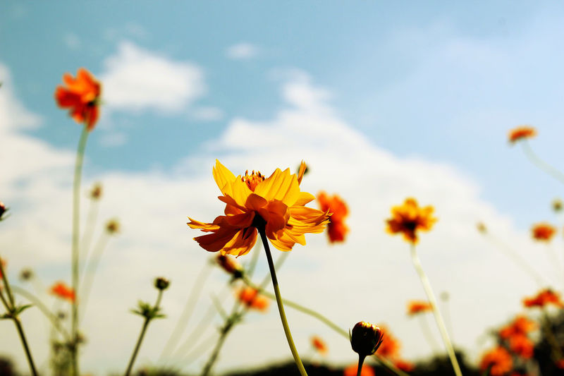 Beautiful Yellow flower blooming. Sky And Clouds Yellow Flower Beauty In Nature Blooming Close-up Cosmos Flower Day Flower Flower Blooming Flower Collection Flower Head Flowers, Nature And Beauty Focus On Foreground Fragility Freshness Growth Low Angle View Nature No People Outdoors Petal Plant Sky Yellow