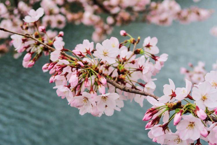 Things I Like Sakura Scenery Japan Travel Urban Spring Fever Landscape Lake Pink Pastel Power Flower Water OSAKA Best EyeEm Shot Learn & Shoot: Balancing Elements Blue