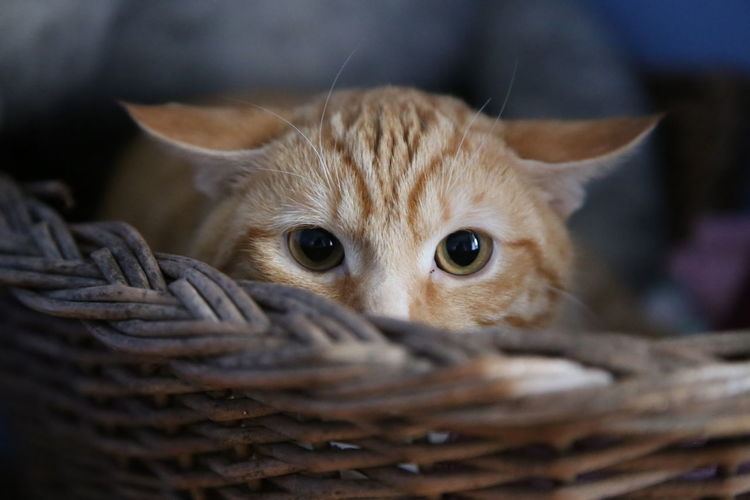 Animal Themes Basket Close-up Day Domestic Animals Domestic Cat Feline Indoors  Kitten Looking At Camera Mammal No People One Animal Pets Picnic Basket Portrait Whicker