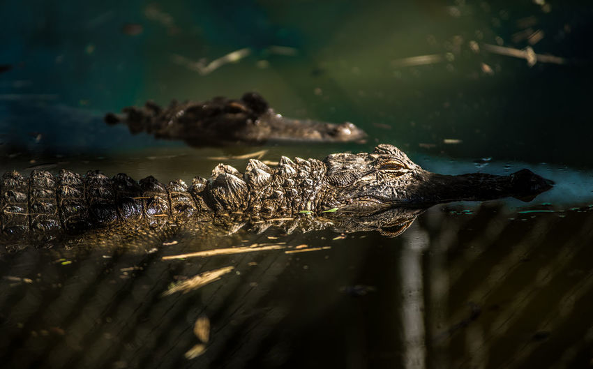 Close-up of crocodile swimming in water