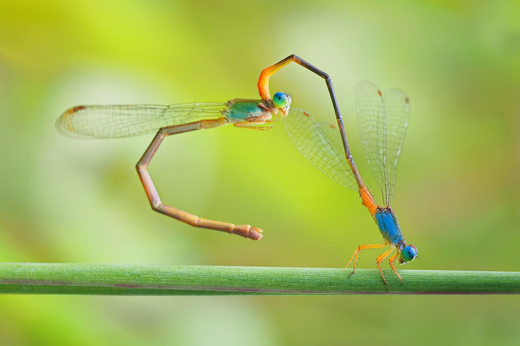 Animal Animal Eye Animal Themes Animal Wildlife Animal Wing Animals In The Wild Blue Close-up Damselfly Day Dragonfly Focus On Foreground Green Color Insect Invertebrate Nature No People One Animal Outdoors Plant Plant Part