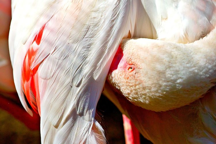 Animal Animal Themes Close-up Bird No People Day Focus On Foreground Outdoors Feather  Flamingo