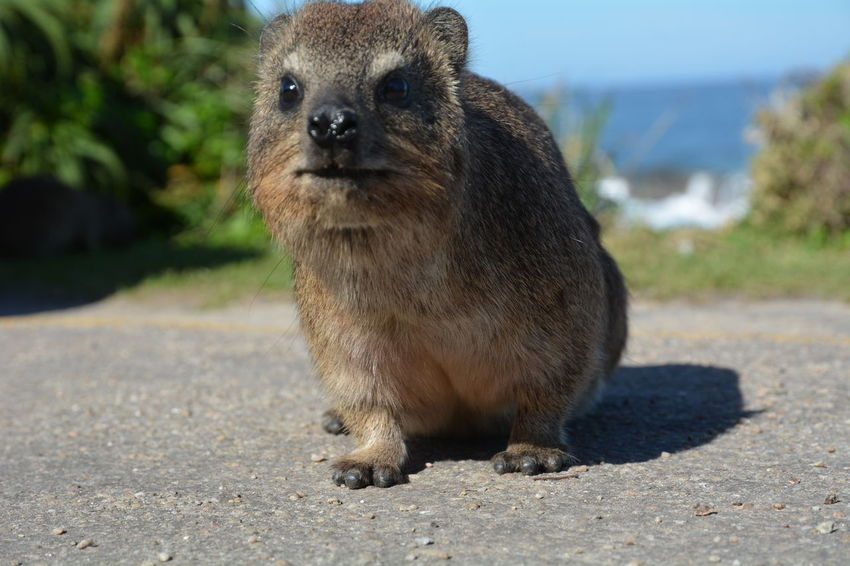 A dassie in South Africa... Animal Themes Animals In The Wild Cape Hyrax Close-up Cute Cute Animals Dassie First Eyeem Photo Hello World Mammal No People One Animal Outdoors Rat Rock Hyrax South Africa Kleintier Tierfotografie Tiere Niedlich