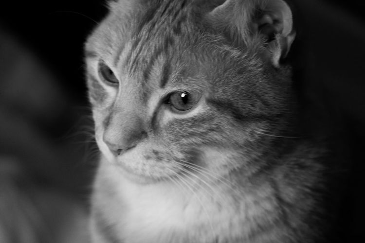 One Animal Pets Portrait Animal Domestic Cat Looking At Camera Domestic Animals Animal Themes Mammal Animal Head  Whisker Close-up Alertness Feline No People Indoors  Day Feline Portraits Cat Lovers My Best Model  My Pet Pet Portraits B&w Photography B&w Cat Photography Cat