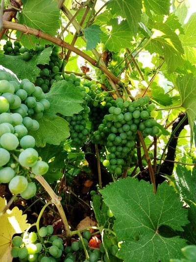 Nature Beauty In Nature Tree Fruit Leaf Hanging Branch Agriculture Grape Unripe Bunch Growing Vineyard Winemaking