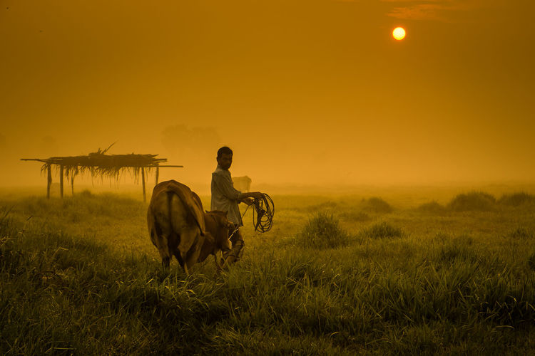 Man walking with cow on land during sunset