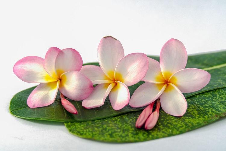 Close-up of frangipani flowers over white background