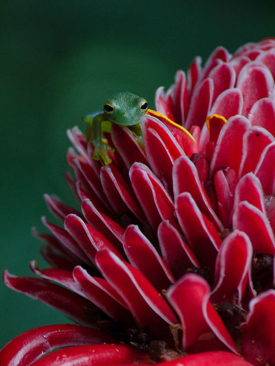 Close-Up Of Frog On Red Flower