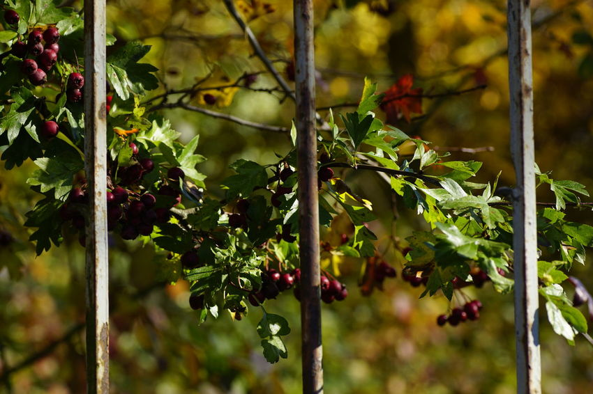 Leaf Nature Outdoors Green Color Beauty In Nature No People Autumn🍁🍁🍁 Sunlight Metallic Fence