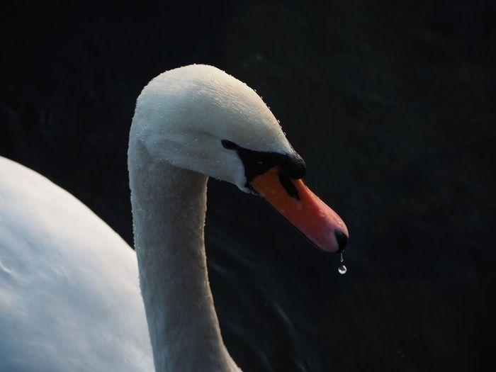 Animal Themes Animals In The Wild Beak Bird Close-up Day Nature No People One Animal Outdoors Swan Water Bird