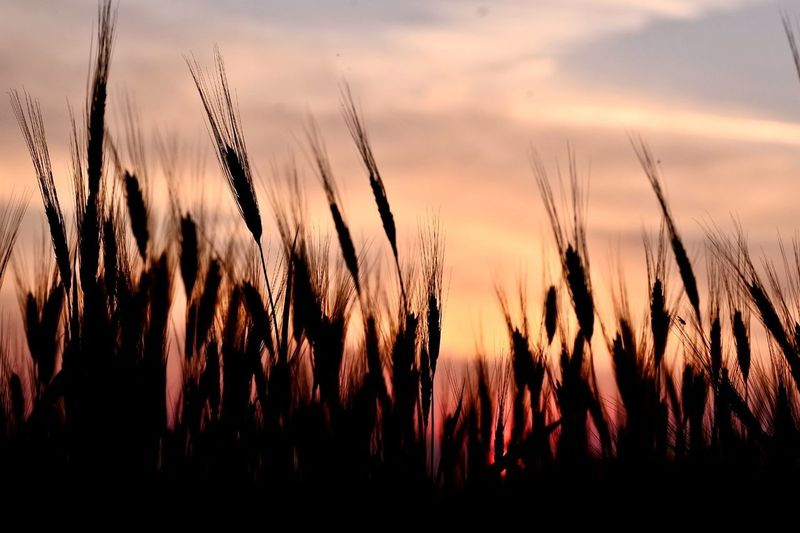 Agriculture Beauty In Nature Cereal Plant Cloud - Sky Crop  Farm Field Growth Land Landscape Nature No People Outdoors Plant Rural Scene Scenics - Nature Sky Sunset Tranquil Scene Tranquility